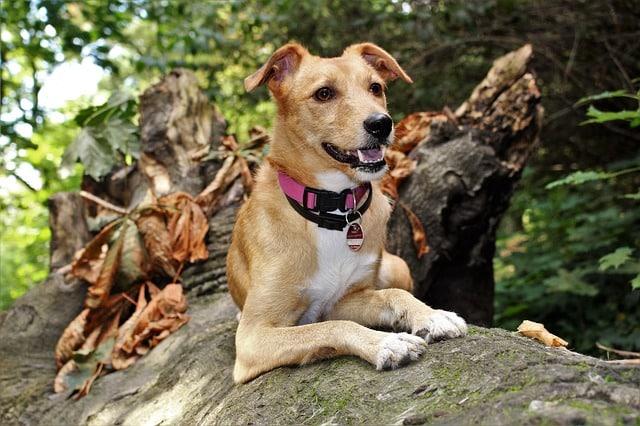 un chien avec un médaillon