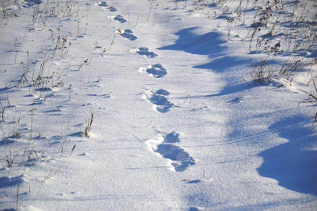 trace d'animal dans la neige